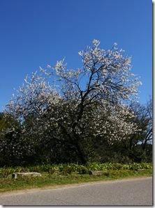 Amandier fleur 1