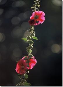 Rose tremière