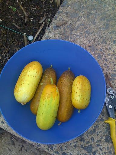 Poona Kheera Cucumber is Very Prolific! Photo%203-791628