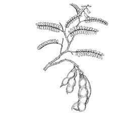 Tamarindus indica L. (Caesalpiniaceae) Indian Tamarind, Kilytree, Tamarind, Tamarindo