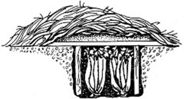 Vegetables like celery, Chinese cabbage, or lettuce store well in frames. To make a frame, stand the vegetables in bundles in a trench about one foot deep. Cover them with a lean-to of boards and mound straw and over the dirt top.