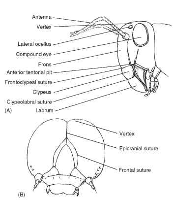 Anatomy Head Thorax Abdomen And Genitalia Insects