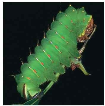 Caterpillar of the polyphemus moth, Antheraea polyphemus, showing the five pairs of prolegs bearing crochets (hooks).