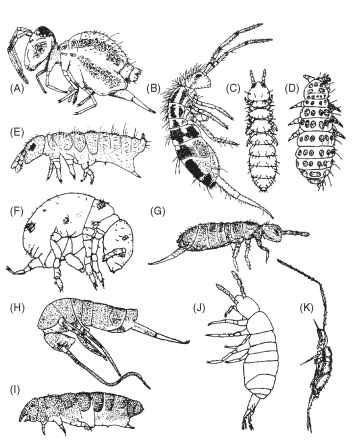 Variety of Collembola forms (not to scale). (A) Sminthuridae. (B) Entomobryidae. (C) Onychiuridae. (D) Neanuridae. (E) Hypogastruridae. (F) Neelidae. (G) Isotomidae. (H) Tomoceridae. (I) Odontellidae. (J) Oncopoduridae. (K) Paronellidae.