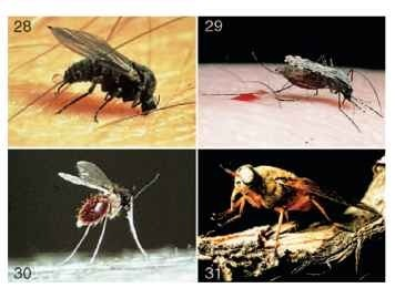 (28) Female black fly adult (Simuliidae) taking a blood meal. (29) Female mosquito adult (Culicidae: Anopheles) taking a blood meal. (Photographs by R. W. Merritt.) (30) Female sand fly adult (Psychodidae) taking a blood meal. (Photograph by B. Chaniotis.) (31) Female horse fly adult (Tabanidae).