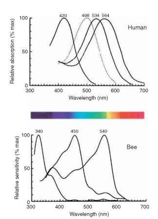 The spectral sensitivity curves for the three human cone mechanisms (and rods, dotted) and the corresponding three curves for a bee. The spectrum shows the colors as they appear to human eyes.