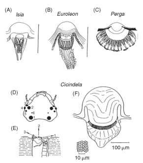 Simple eyes (ocelli) of increasing complexity in larval insects. (A) Lepidopteran, (B) Neuropteran, (C) Hymenopteran. Scale bars, 0.1 mm. (D-F) Large simple eyes of tiger beetle larvae (Cicindela) . They are used to spot prey (usually ants), which they ambush from the burrow. (D) Head with six pairs of eyes. (E) Larva in ambush position. (F) Largest ocellus showing corneal lens and retina. Inset: Tangential section of retina.