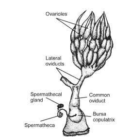 Sound production insects the generalized structure of the female reproductive tract showing the location of the spermatheca ccuart Image collections
