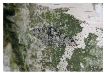 The typical form of the peppered moth, B. betularia.