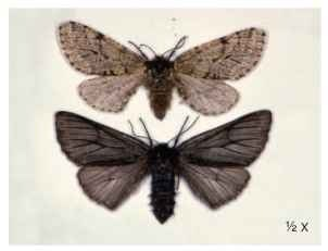 Nonmelanic and melanic forms of the brindled beauty, L. hirtaria.