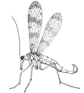 A male scorpionfly showing anatomical characteristics of family Panorpidae. Length of forewing is 12 mm.