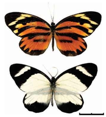Female-limited mimicry in Perrhybris pyrrha (Pieridae), Eastern Peru. The female (top) is a Batesian mimic of the tiger-patterned Ithomiines and Helicomiines (see Fig. 3- , while the male (bottom) has retained a typical pierid white coloration. Scale bar, 2 cm