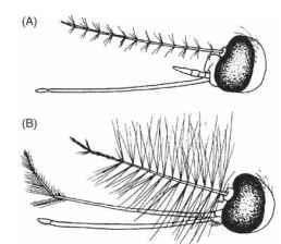 (A) Female and (B) male heads of adult Aedes mosquitoes.