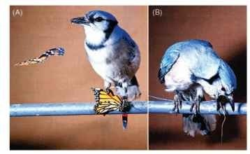 (A) A blue jay eats a monarch butterfly that contains the emetic heart poisons that its larva had sequestered from a milkweed plant. (B) About 15 min later, the jay sickens and vomits. One unpleasant experience is sufficient for most jays to avoid all further monarchs on sight.