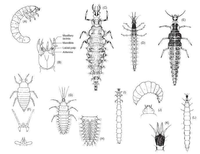 Hemerobiiform larvae: (A) Ithonidae; (B) Polystoechotidae; (C) Chrysopidae; (D) Osmylidae; (E) Hemerobiidae; (F) Coniopterygidae; (G) Sisyridae; (H) Sisyridae (venter of abdomen: note gills); (I) Dilaridae; (J) Mantispidae; (K) Berothidae; (L) Berothidae.