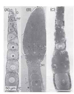 """Patterns of oocyte development. (A) Panoistic ovary of an apterygote insect, Leppisma saccharina. G, germarium; FC, follicle cell. (Reprinted from R. C. King and J. Buning, 1985. The origin and functioning of insect oocytes and nurse cells. In """"Comprehensive Insect Physiology, Biochemistry, and Pharmacology,"""" Vol. 1, pp. 37-82, with permission from Elsevier Science.) (B) Teletrophic ovary of a heteropteran insect, Dysdercus intermedius. The nutritive cords (NC) extending from the nurse cells to the oocyte are clearly visible. (C) Polytrophic ovary of a carabid beetle, Nebria brevicollis."""