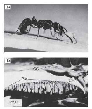 The pygidial gland and trail laying. (A) The ant P. laevigata applies the pygidial gland, located dorsally, to the substrate to lay a trail. (B) Structure of the gland: AS, cuticular applicator; GC, gland cells, CH, gland channels in the intersegmental membrane. Scale bar = 2.5mm.