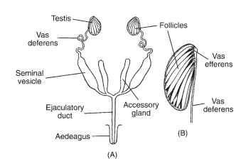 Reproduction male insects a the generalized structure of the male insect reproductive system b a ccuart Images