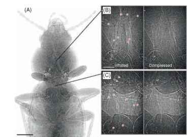 Phase contrast X-ray synchrotron images of a carabid beetle. (A) Cranial half of animal, tracheae appear as light-colored tubes, scale bar: 1 mm. (B) and (C) Inflated (left) and deflated (right) tracheae in the mesothorax (B) and metathorax (C), red stars indicate tracheae, scale bar 200 |im; the frequency of these cycles is 10-15 min-1