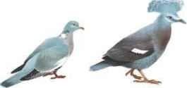 Woodpigeon & Crowned pigeon