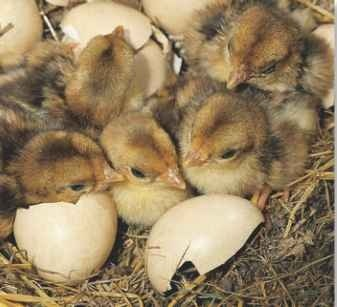 A Instant meals The 5—12 chicks can feed themselves upon hatching.