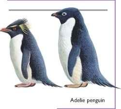 Rockhopper penguin & Adelie Penguin