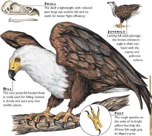 Life of eagle bird