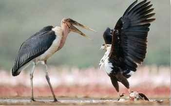 A It's mine Fiercely protective of its kills, the fish eagle will attack any potential thief, including a marabou stork.