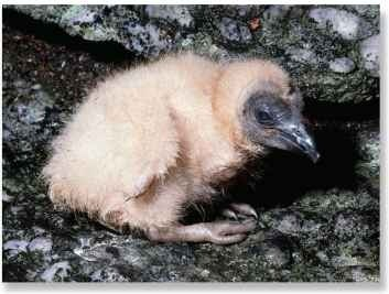 A Helpless beginning The black vulture is born helpless and completely dependent upon its parents for nourishment.