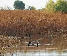 A wetland waders A small flock of coots wades in its habitat of choice.