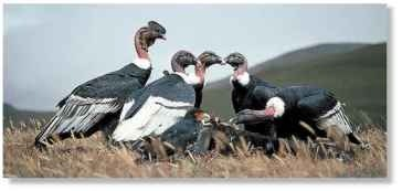 A Land of giants The condor is the biggest vulture in South America.