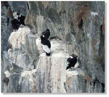 Meet on the ledge Condors aren't social, but pairs may use the same cliff ledge for nesting.