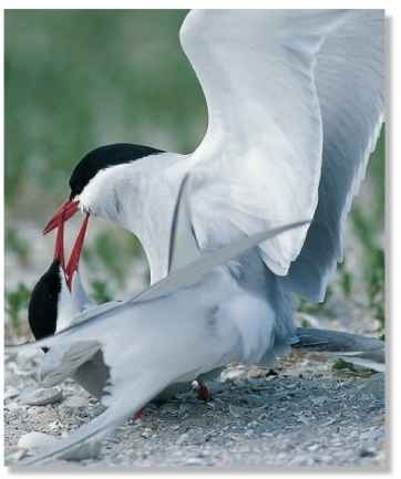 A Friends again Adult terns mate after renewing their pair bond.