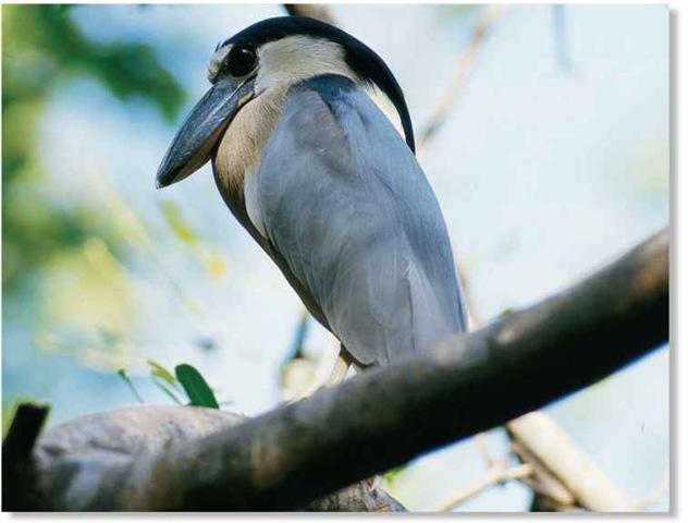 Broad Billed Heron Boat-billed Heron Birds