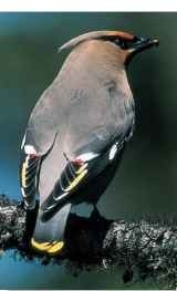 A Opportunity knocks The waxwing waits to snap up any passing insects.