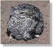 A Mottled minor Like adults, the chick has camouflaging plumage.