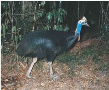A Out of the limelight The double-wattled cassowary keeps to thick cover in dark rainforests.