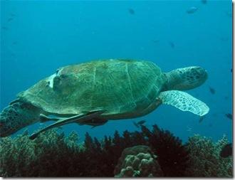 pulau-redang-sea-turtle
