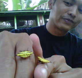 laba-laba-aneh-mirip-kepiting-di-mojokerto