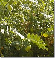 pianta_di_ceci