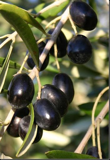 olive sull'albero