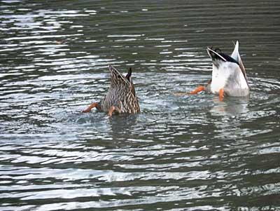 ducks-6.jpg