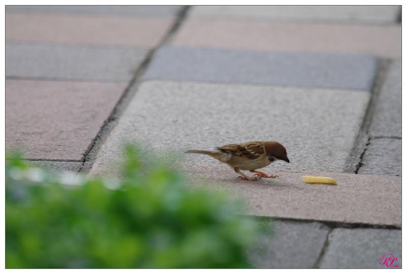 享受速食的麻雀跟築愛巢山斑鳩