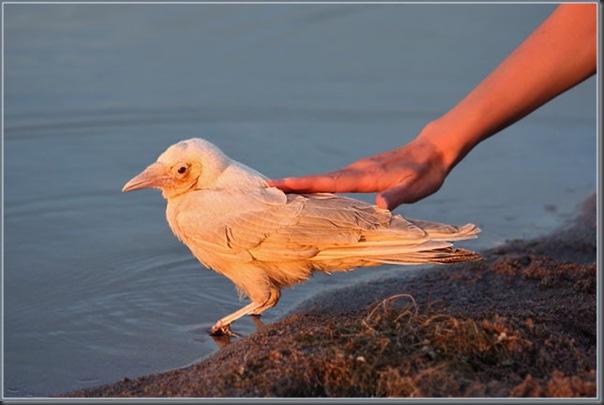 O corvo branco