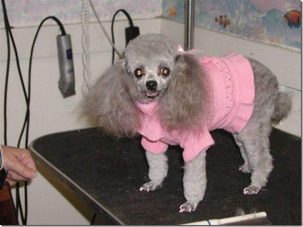 Belos e estranhos penteados caninos (16)