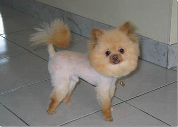 Belos e estranhos penteados caninos (13)