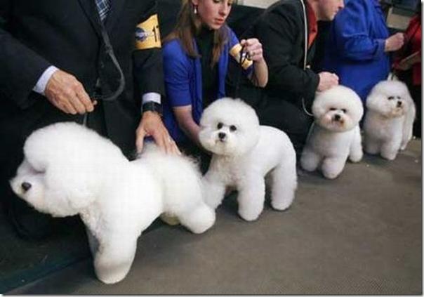 Belos e estranhos penteados caninos (12)