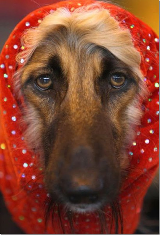 Belos e estranhos penteados caninos (18)
