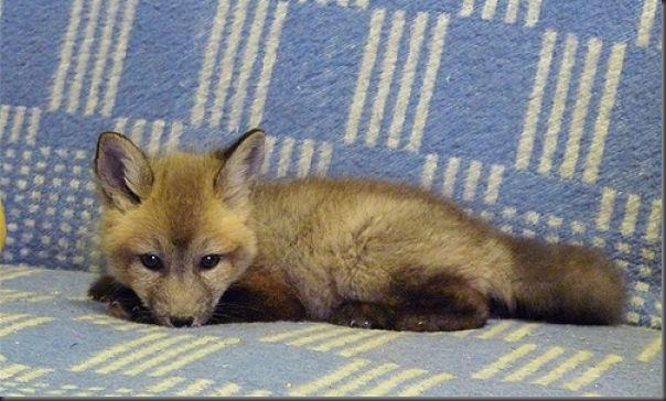 Filhotes de raposa (8)