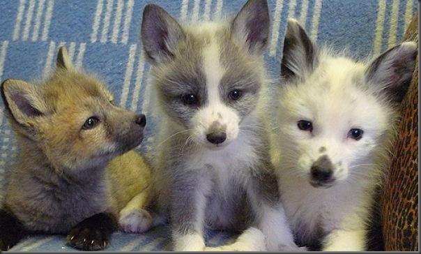 Filhotes de raposa